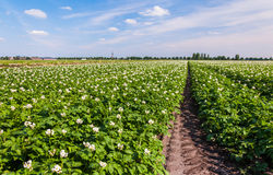 Potato plants with white and yellow flowers Royalty Free Stock Photography