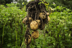 Potato pulled from the ground Royalty Free Stock Image