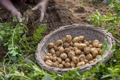 In winter some Local farmers are on potato harvesting field in Thakurgong, Bangladesh. The potato ranks first among the world`s most important food crops. In Royalty Free Stock Photos