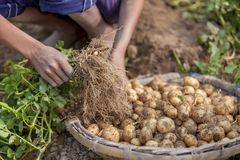 In winter some Local farmers are on potato harvesting field in Thakurgong, Bangladesh. The potato ranks first among the world`s most important food crops. In Royalty Free Stock Photo