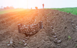 Free Potato Ridges Stock Photography - 91075482