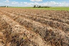 Potato ridges in the fall season Royalty Free Stock Image