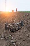 Potato ridges. In just before harvesting Stock Image