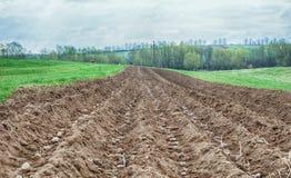 Potato ridges. In just before harvesting Royalty Free Stock Photo