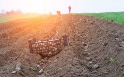 Potato ridges. In just before harvesting Stock Photography