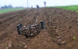 Potato ridges. In just before harvesting Royalty Free Stock Photos