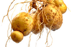 Potato with root Royalty Free Stock Images