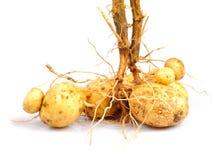 Potato with root Royalty Free Stock Photos