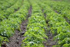 Potato Rows Royalty Free Stock Photo