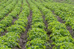 Potato Rows Royalty Free Stock Photos
