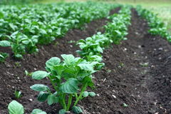 Potato rows. Field with organic potato plants Royalty Free Stock Images