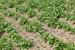 Potato rows in garden Royalty Free Stock Photo