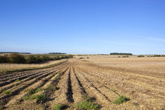 Potato rows in late summer Stock Photos