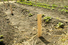 Potato Rows Stock Image