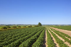 Potato rows in summer Royalty Free Stock Photo