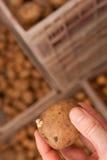 Potato seed Royalty Free Stock Photography