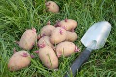 Potato seed lying on the grass royalty free stock photos