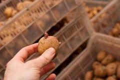 Potato for seeding Royalty Free Stock Image