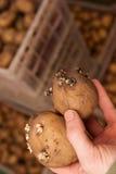 Potato seeds Royalty Free Stock Photos