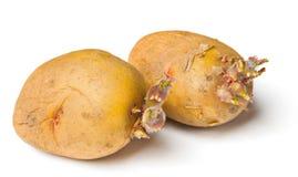 Potato seeds on white background Stock Image
