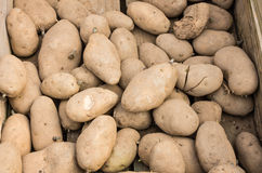 Potato sets or starts ready to plant Stock Images