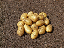 Potato on soil Stock Image