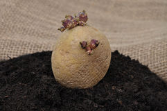 Potato on soil Stock Photo
