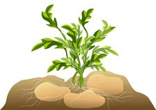 Potato in soil Royalty Free Stock Images