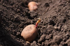 Potato is in soil Stock Photos