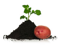 Potato in soil Royalty Free Stock Photography