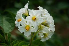 Potato_Solanum tuberosum. Blossom of potato plant, Solanum tuberosum Stock Photo