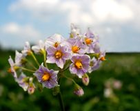 Potato Solanum tuberosum flower Royalty Free Stock Image