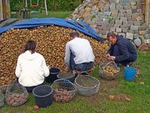 Potato sorting  Royalty Free Stock Photography