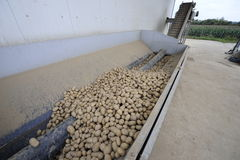 Potato. Sorting and processing factory Stock Images