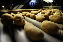Potato. Sorting and processing factory Stock Photos