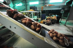 Potato. Sorting, processing, packing factory Stock Images