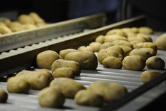 Potato. Sorting, processing and packing factory Stock Image