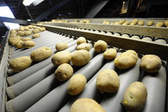 Potato. Sorting, processing and packing factory Royalty Free Stock Images