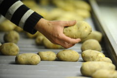Potato. Sorting, processing and packing factory Stock Photo