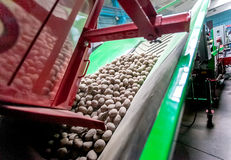 Potato sorting, processing and packing factory. Potato sorting, processing and packing on conveyor at factory Stock Photo
