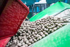 Potato sorting, processing and packing at factory. Potato sorting, processing and packing on conveyor at factory Stock Image