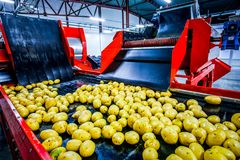 Potato sorting, processing and packing factory. Vegetable with big machine Stock Image