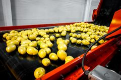 Potato sorting, processing and packing factory. Vegetable with big machine Stock Images