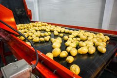 Potato sorting, processing and packing factory. Vegetable with big machine Royalty Free Stock Photos