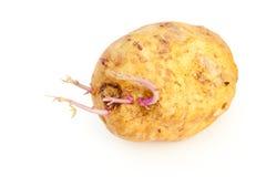Potato Sprout Royalty Free Stock Photos