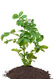 Potato sprout Royalty Free Stock Image
