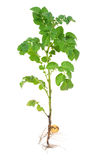 Potato sprout Stock Photos
