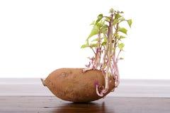 Potato sprouting Stock Photo