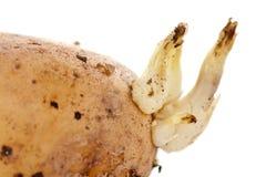 Potato sprouts Royalty Free Stock Photos