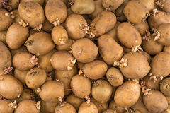 Potato sprouts Stock Image